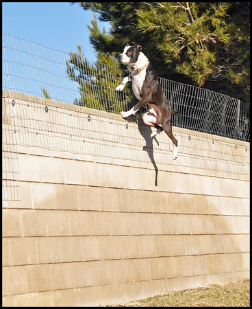 DDB: How to Heighten a Fence: No Chained Dogs!